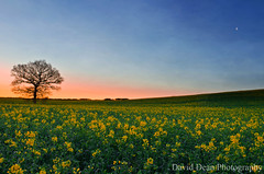 Rapeseed Dawn (jactoll) Tags: uk england moon tree yellow rural landscape dawn countryside spring oak warwickshire 2012 alcester warks rapessed jactoll