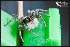 Araña Saltadora (Juan M Casillas) Tags: madrid macro insect spider iso200 wildlife araña jumpingspider leganés insecto f320 arañasaltadora speed1160 cameranikond300 focal1050mm35mm~1570mm lens1050mmf28 filenamedsc0456jpg