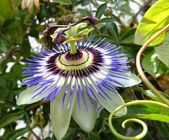 Passion flower. (Paul F Gannon) Tags: flowers blue macro andaluca spain vibrant passion fujihs20