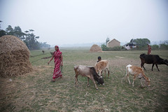 Rice Project  Child Sponsorship. (ActionAid UK) Tags: food woman colour animals rural self work cow community women eyecontact child cattle cows rice farming seed bank seeds help hunger use land