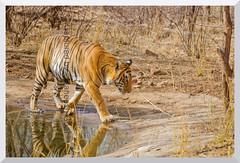 T-28 Star Male Tiger   Ranthambhore National Park, Rajasthan (thelegendreturns (www.mybioscope.net)) Tags: tiger ranthambore ranthambhore ranthamborenationalpark ranthambhorenationalpark