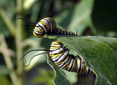 Monarch Caterpillar, Boone County (VMRousset) Tags: columbia mo milkweed insectsandspiders