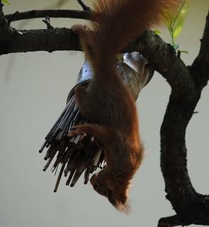 Eichhörnchen untersucht Wildbienen-Hotel, NGIDn2052681542