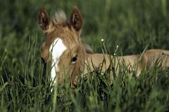 (Markus Hill) Tags: horse quarter pferd 2012 foal fohlen