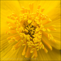 Yellow Bits (*ian*) Tags: flower macro nature closeup garden square flora petal stamen pollen favourite marigold stigma anther marshmarigold calthapalustris kingcup