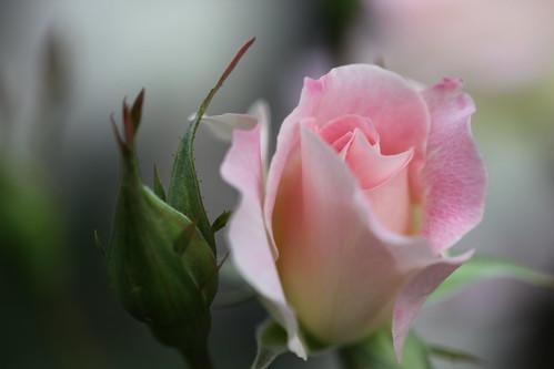 Rose-Matilda