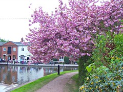 423 Cherry Blossom (robertknight16) Tags: blossom britain pubs fradley