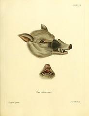 n218_w1150 (BioDivLibrary) Tags: mammals warthog pictorialworks harvarduniversitymczernstmayrlibrary bhl:page=31078348 dc:identifier=httpbiodiversitylibraryorgpage31078348 taxonomy:binomial=susafricanus
