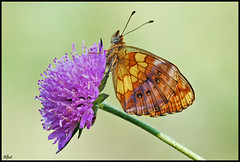 Brenthis daphne (alfvet) Tags: macro nikon ngc butterflies natura npc farfalle sigma150 parcodelticino platinumheartaward ahqmacro veterinarifotografi mygearandme mygearandmepremium mygearandmebronze mygearandmesilver mygearandmegold mygearandmeplatinum mygearandmediamond flickrstruereflection1 flickrstruereflection2 allofnatureswildlifelevel1 allofnatureswildlifelevel2 allofnatureswildlifelevel3 rememberthatmomentlevel4 rememberthatmomentlevel1 rememberthatmomentlevel2 rememberthatmomentlevel3 rememberthatmomentlevel7 me2youphotographylevel1 unlimitedinsectslevel1 rememberthatmomentlevel5 rememberthatmomentlevel6 rememberthatmomentlevel8