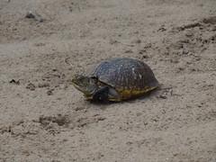 Ornate Box Turtle (corey.raimond) Tags: animal wisconsin reptile wildlife ornate boxturtle terrapene terrapeneornata