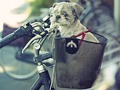Travel dog.... (Vicktor Abrahams) Tags: street city light summer dog sun sunlight holland art bike bicycle pen walking lights flickr dof bokeh weekend walk bikes sunny olympus netherland streetphoto f18 hoogeveen 45mm tamba vicktor pl1 f118 bokehlicious epl1 mzuiko httpwww100bicyclescom 100bicycles 100bicyclesproject