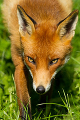 _W9H3183 (asbimages.co.uk) Tags: uk red cute nature animal wildlife fox foxes redfox vulpesvulpes vulpes