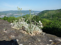 CIMG0520 (corsi photo) Tags: castle germany rhineland rhineriver braubach marksburgfortress