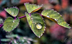 Drop of Rain! (Hassan Mohiudin) Tags: green water rain photo leaf drop hassan mohiudin