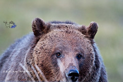 Blaze the grizzly (Daryl L. Hunter - The Hole Picture) Tags: closeup sow grizzlybear yellowstonepark grizzlybeargrizzlycubgrizzlysowyearoldcubyellowstonegrizzybearyellowstonenationalparkyellowstonewyomingunitedstates