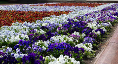 Nice Flowers (AlanScerbakov) Tags: flowers blue red white flower green nikon cyan 55mm 18 d3100 alanscerbakov