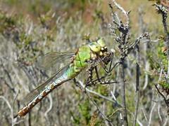 Dragonfly eating a Bee (inyucho) Tags: nature dragonfly dunes bee bergen duinen bij pwn odonata noordhollandsduinreservaat