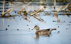 Scouting Duck (Kurayba) Tags: county lake canada bird water female duck highway natural pentax sigma beaver observatory alberta 400 area marsh f56 avian wetland k5 scouting harrier lister tofield beaverhill harrierhighway