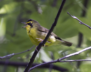 Kentucky Warbler (Geothlypis formosa / Oporonis formosus) - male