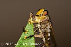 Robber Fly - Promachus bastardii (The Fantastic G) Tags: june texas 9th 2012 tomball harriscounty sbr200 nikonr1system nikond7000 sigma150mm28exapodghsmmacro sigma14xtcapodgex 2012jun09