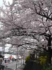 Azamino  - Cherry Tree in full bloom  () Tags: street japan blossom   yokohama rue japon  cherrytree cerisier azamino totale fullbloom   fleuraison