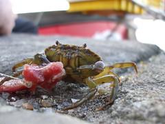 Norfolk - Mr Crab at Wells (cheap cola) Tags: sea england coast seaside rocks norfolk wells cliffs crabs beachhuts wellsnextthesea
