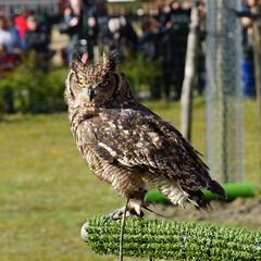 Spotted Eagle Owl - Bubo Africanus (Mamanon) Tags: zoetermeer stadsboerderij spottedeagleowl buboafricanus weidemolen afrikaansevlekkenoehoe