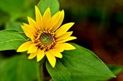 First Sunflower - 2016 (deanrr) Tags: flower green nature leaves yellow petals bokeh outdoor alabama sunflower morgancountyalabama