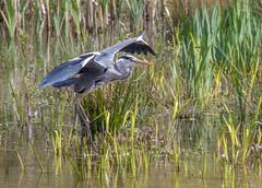 Heron-1 (worlknut) Tags: heron grey wildlife flash flight pennington bif
