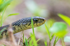 Snake in the Grass (PhillymanPete) Tags: philadelphia nature grass us spring nikon unitedstates pennsylvania reptile snake wildlife philly tinicum gartersnake johnheinznwr heinznwr sharonhill d7200