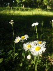 (snogglethorpe) Tags: park white flower green yellow japan tokyo daisy        edotokyoopenairarchitecturalmuseum