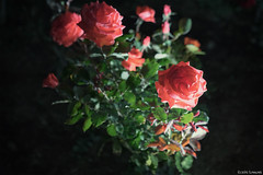 night rose (it05h1) Tags: flowers light roses plants plant flower nature rose japan night garden landscape lights view nightscape blossom blossoms illuminated vegetation lightup nightview saitama ina lighted japanscape it05h1
