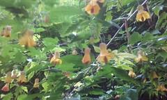 """Chinese Lantern plant"" / Abutilon (sftrajan) Tags: sanfrancisco goldengatepark strybingarboretum mallow abutilon malvaceae botanicalgarden jardinbotanico chineselanternplant jardinbotanique botanischergarten sanfranciscobotanicgarden ogrdbotaniczny"