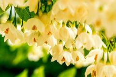 Garden Flowers (WarpFactorEnterprises) Tags: flowers tree garden spring bees poppy poppies 2016 2016springgardenflowersbeespoppiespoppytree