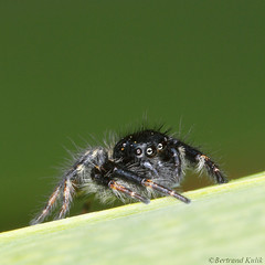 Little jumper (bertrand kulik) Tags: macro nature insecte araigne saltique