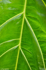 Tributaries (Thad Zajdowicz) Tags: green conservatory tropical flora plant beauty nature color huntingtongardens sanmarino california zajdowicz canon eos 5dmarkiii dslr digital lightroom indoor inside leaf availablelight existinglight abstract fineart colour foliage