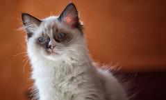 la mia micia - my cat (riccardo_hoenner) Tags: cat felino gatto animali animale animl animls mammifero