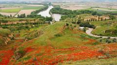 Una alfombra de amapolas. (lumog37) Tags: flowers flores landscape bridges paisaje rivers puentes ros