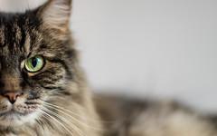 feline (apg_lucky13) Tags: ca portrait usa cat canon fur eos intense feline glare whiskers gato stare missy ff ef f12 jdc 6d wideopen catportrait 85l felineportrait 85lmkii jasdaco yellowgreencatseyes