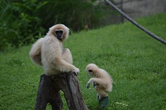 Mom and baby (citizen for boysenberry jam) Tags: wild animals zoo texas waco waza gibbon aza cameronparkzoo whitehandedgibbon