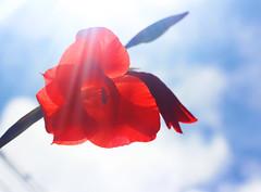 Shining (chandra.dheeraj) Tags: flower beautiful canon shine tulip