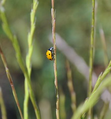 coccinella (picwalt) Tags: ladybug coccinelle mariquita