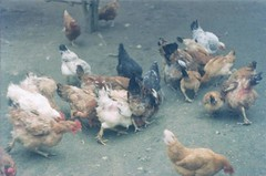 Friendly chickens (larissanunesdealbuquerque) Tags: