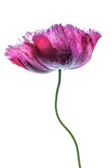 Poppy (Mandy Disher) Tags: red summer white plant nature beauty garden lilac poppy mauve oriental papaver