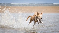 Speed demon. (Marcus Legg) Tags: sea dog pet beach water animal speed canon eos seaside sand waves play bokeh running spray beast lurcher 1dmarkiv ef70200mmf28lisii marcuslegg