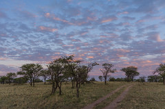 early morning (sixthofdecember) Tags: africa morning travel trees sunset sky tree nature grass clouds landscape tanzania outside outdoors dawn early nationalpark nikon safari serengeti grassland tamron acacia gamedrive eastafrica acacias serengetinationalpark tamron18270 nikond5100