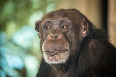 2016-07-03-12h07m41.BL7R4382 (A.J. Haverkamp) Tags: canonef100400mmf4556lisiiusmlens amersfoort zoo dierentuin dierenparkamersfoort httpwwwdierenparkamersfoortnl thenetherlands chimpansee chimpanzee bini dob1982