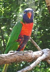 Lorikeet (Theophilus Photography) Tags: louisvillezoo zoo wildanimals cage vacation trip lorikeet parrot bird colorful