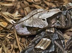 Gaboon viper (Bitis rhinoceros) (ucumari photography) Tags: sc animal june snake south columbia carolina horn riverbankszoo 2016 gaboonviper specanimal dsc5619 ucumariphotography bitisrhinoceros