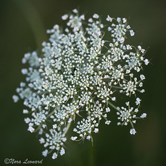 Queen Anne's Lace (norasphotos4u) Tags: white macro flickr social flowersplants canon6d canonef100mmf28lisusmmacro noraleonard